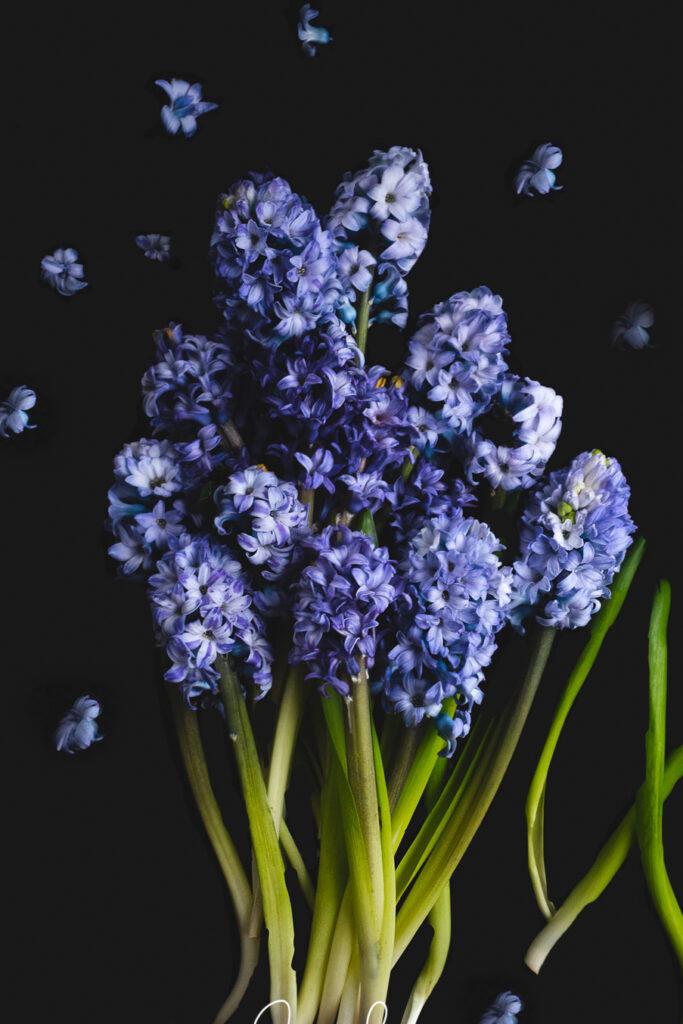 Blauwe hyacinten in volle bloei